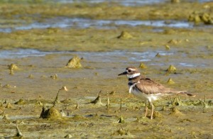 Killdeer_RamahSWA-CO_LAH_8018