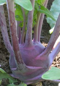 Kohlrabi_ColoSpgs-CO_LAH_7892