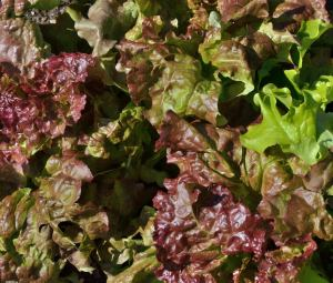 Lettuce_ColoSpgs-CO_LAH_7902