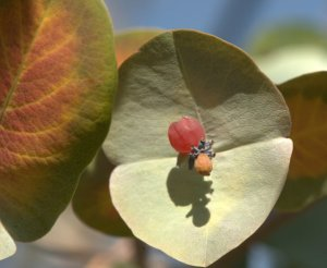 Lonicera reticulata 'Kintzley's Ghost'_Honeysuckle_DBG_LAH_4404
