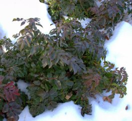 Mahonia repens - Oregon Grape Holly_DBG_10200118_LAH_6955