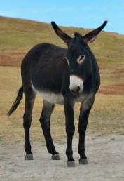 Wild Donkeys_CusterSP-LAH_7283