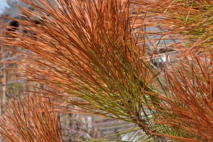 Brown needles on pine_DBG-CO_LAH_5157