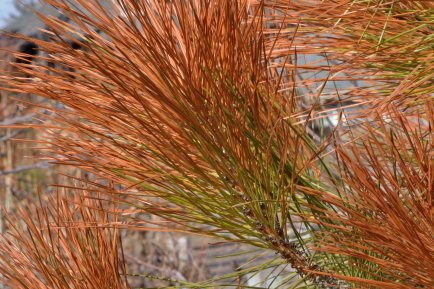 Brown needles on pine_DBG-CO_LAH_5157