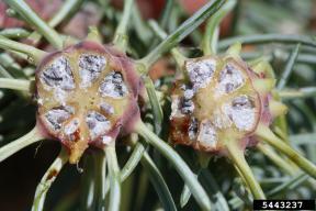 Cooley spruce gall aadelgid - c Cranshaw