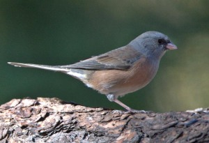Dark-eyed Junco_BlkForest-CO_LAH_4176