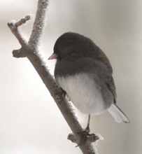 Dark-eyed Junco_LaVeta-CO_LAH_2735