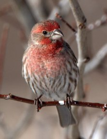 House Finch_LaVeta-CO_LAH_5665