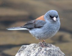 Junco_COStateForestSP_LAH_8657