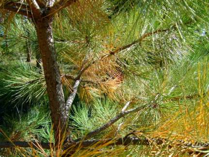 Needle drop on Ponderosa Pine @home 2008sept23 LAH 377