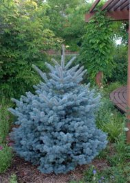 Picea pungens 'Montgomery' - Blue Spruce_XG_20090826_LAH_9731.nef