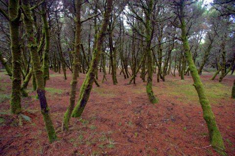 Pine trunks_NehalemSP-OR_LAH_8177