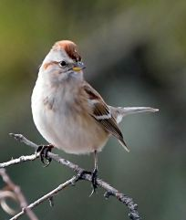American Tree Sparrow_CBC_COS_LAH_8741f-001