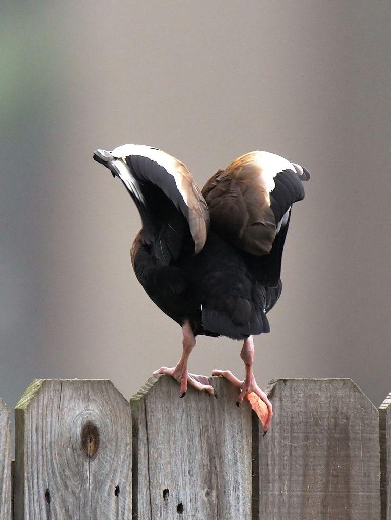 Black-bellied Whilstling-Duck_Bennett's_Brownsville-TX_LAH_3900_filtered