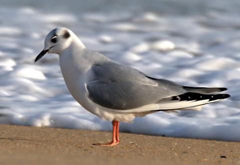 Bonaparte's Gull_KillDevilHills-NC_LAH_LAH_2840_filtered