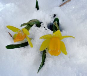 Daffodil in snow_LAH_ 004