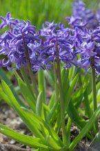 Hyacinthus orientalis - Hyacinths_HudsonGardens-LittletonCO_20100406_LAH_1637
