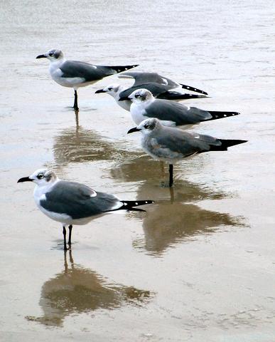 Laughing Gulls @PadreIs LAH 031