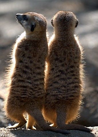 Meerkats_SDWildAnimalPark_LAH_8294f