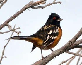 Spotted Towhee_CBC_COS_LAH_8720-001