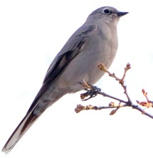 Townsend's Solitaire_CBC_COS_LAH_8703-001