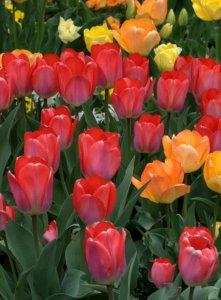 Tulipa_DBG_LAH_0830