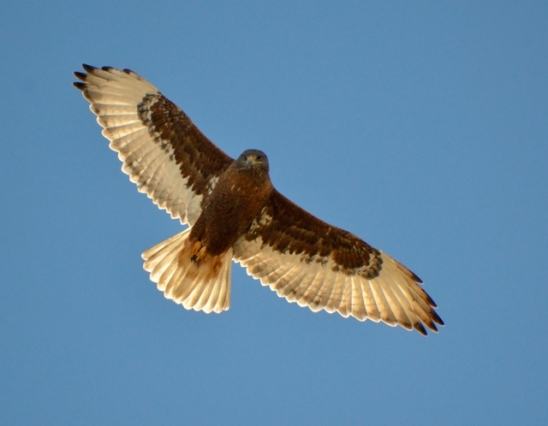 Ferruginous Hawk - Dark Morph_ElPasoCounty-CO_LAH_9787-001