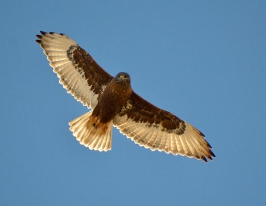 Ferruginous Hawk - Dark Morph_ElPasoCounty-CO_LAH_9787-001