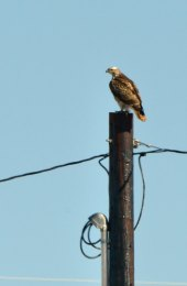 Ferruginous Hawk_ElPasoCounty-CO_LAH_9552