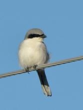 Loggerhead Shrike_ElPasoCounty-CO_LAH_9418-001