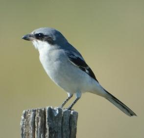 Loggerhead Shrike_JacksonLakeSP-CO_LAH_2024