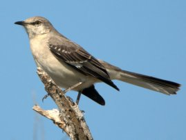 Northern Mockingbird_SabineNWR-TX_PLH_1776