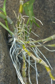 Phalenopsis orchid roots_DBG_LAH_6672