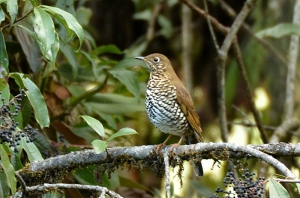 Plain-backed_thrush,_Mishmi_Hills,_Arunachal_Pradesh,_India