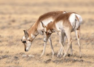Pronghorn_WY_LAH_0197f