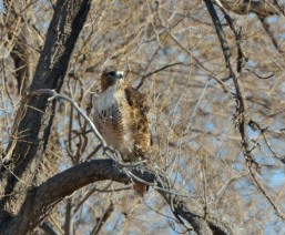 Red-tailed Hawk_ElPasoCounty-CO_LAH_9455