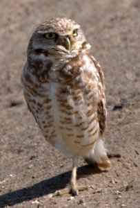 Burrowing Owls_BixleyNWR-CA_LAH_9586