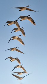 Canada Geese_FCNC_LAH_6110