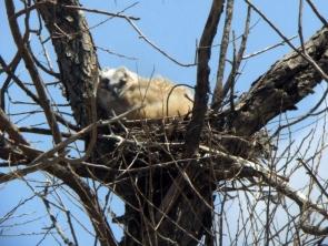 Great Horned Owl nestling at Peyton 17may2008 LAH 013r