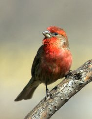 House Finch_CarsonNatureCenter-LittletonCO_20100406_LAH_1980