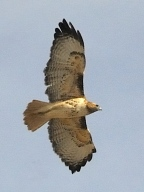 Red-tailed Hawk_E-ElPasoCoCO_20100116_LAH_6867