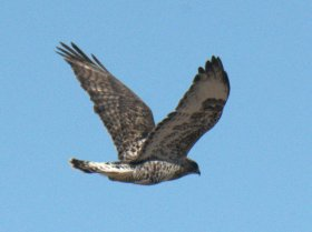 Rough-legged Hawk_ElPasoCounty-CO_LAH_9726