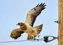 SEColorado_Swainson's Hawk_TimpasCreekSWA-CO_LAH_4798