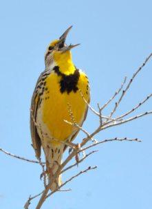 Western Meadowlark_RockyMtnArsenalNWR-CO_LAH_1531