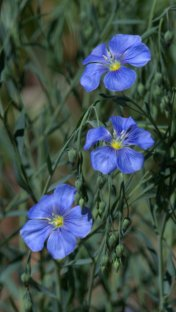 Blue Flax_Durango-CO_LAH_2356