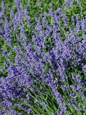 Lavendula - Lavender @DianeBrunjes-GlenEagle 22july05 LAH 003r