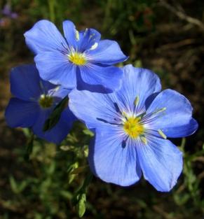 Linum - Blue Flax @CrestedButteCO_2008jul13_LAH_307r
