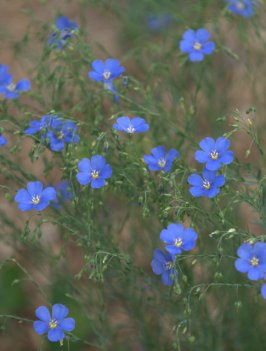 Linum perenne lewisii_Blue Flax_XG-CoSpgsCO_LAH_9170