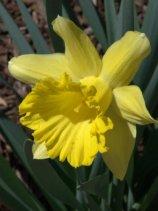 Narcissus_Daffodils_DBG_LAH_7193