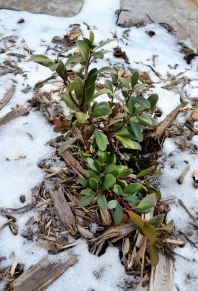 Snow-covered Cotoneaster_NSFT_COS_LAH_9313